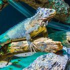 Kleiner Antillen-Leguan