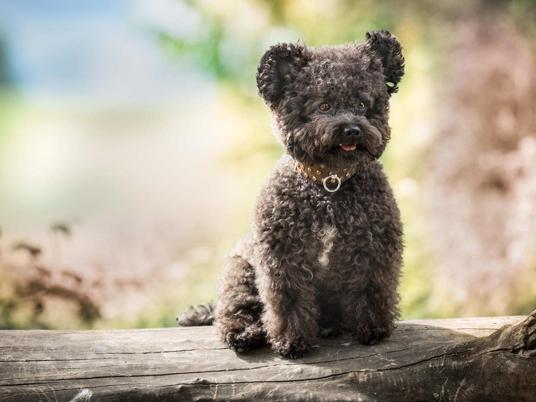 Hund der aussieht wie ein teddy