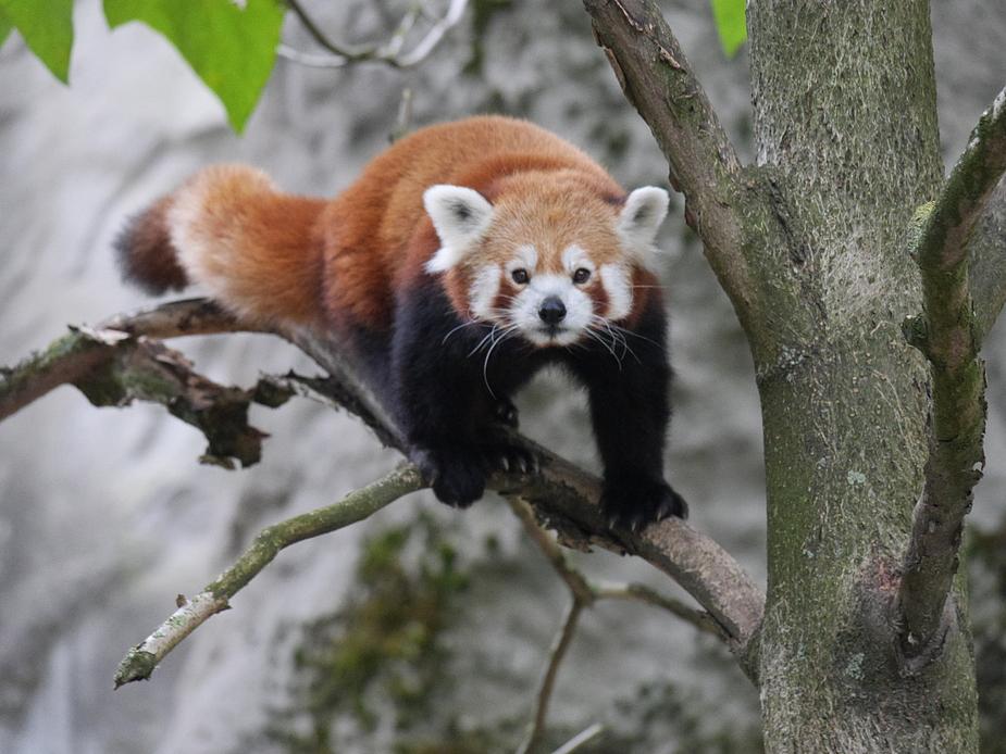 kleiner Bär auf Entdeckungstour auf einem Baum......