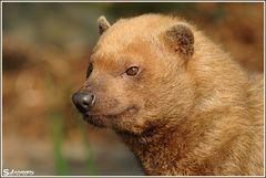 Kleiner Bärendackel