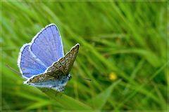 Kleiner blauer Schmetterling