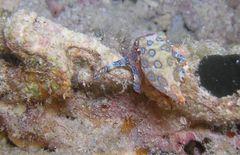 Kleiner Blauring Octopus
