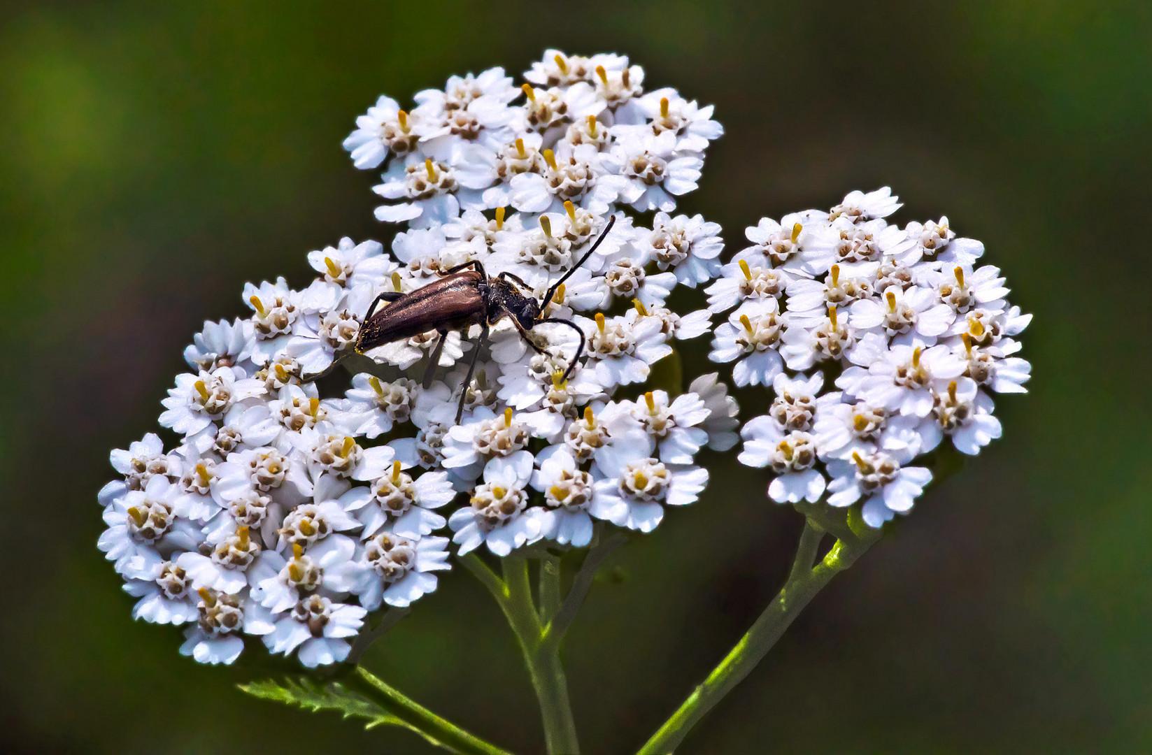 Kleiner Bockkäfer auf einer weißen Blütendolde
