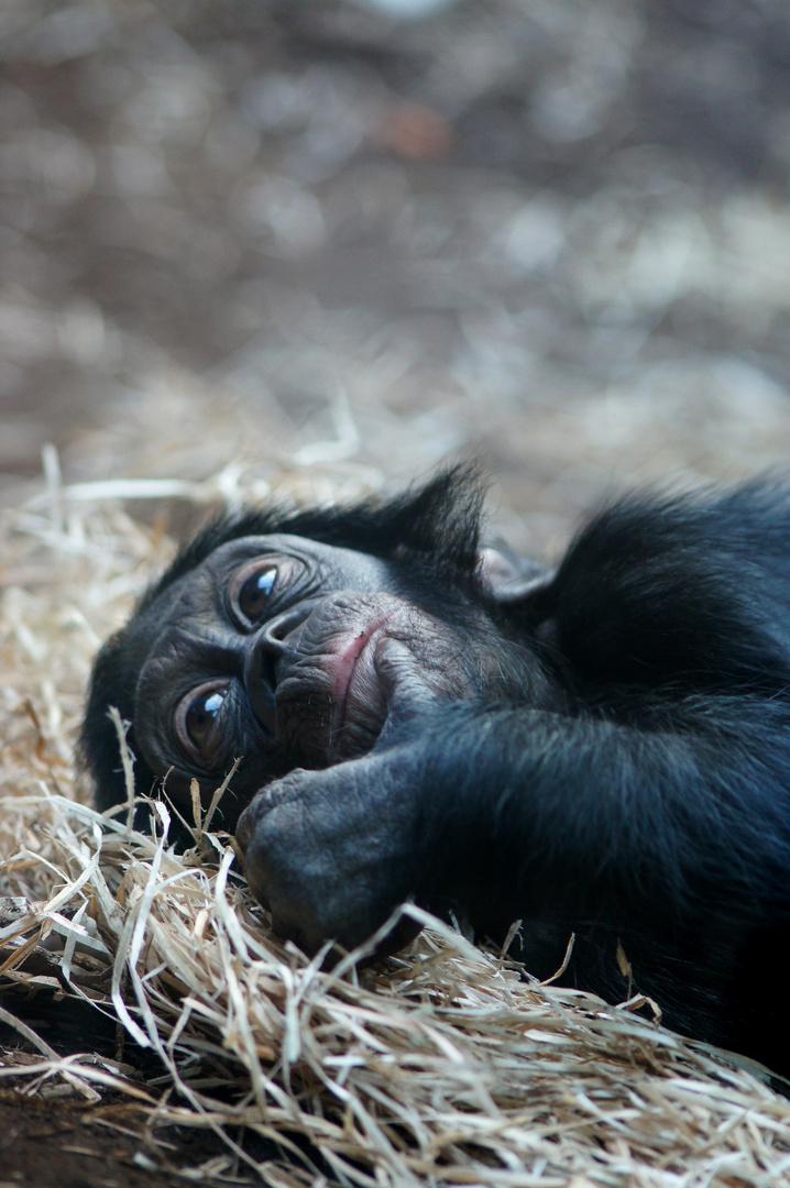 Kleiner Bonobo