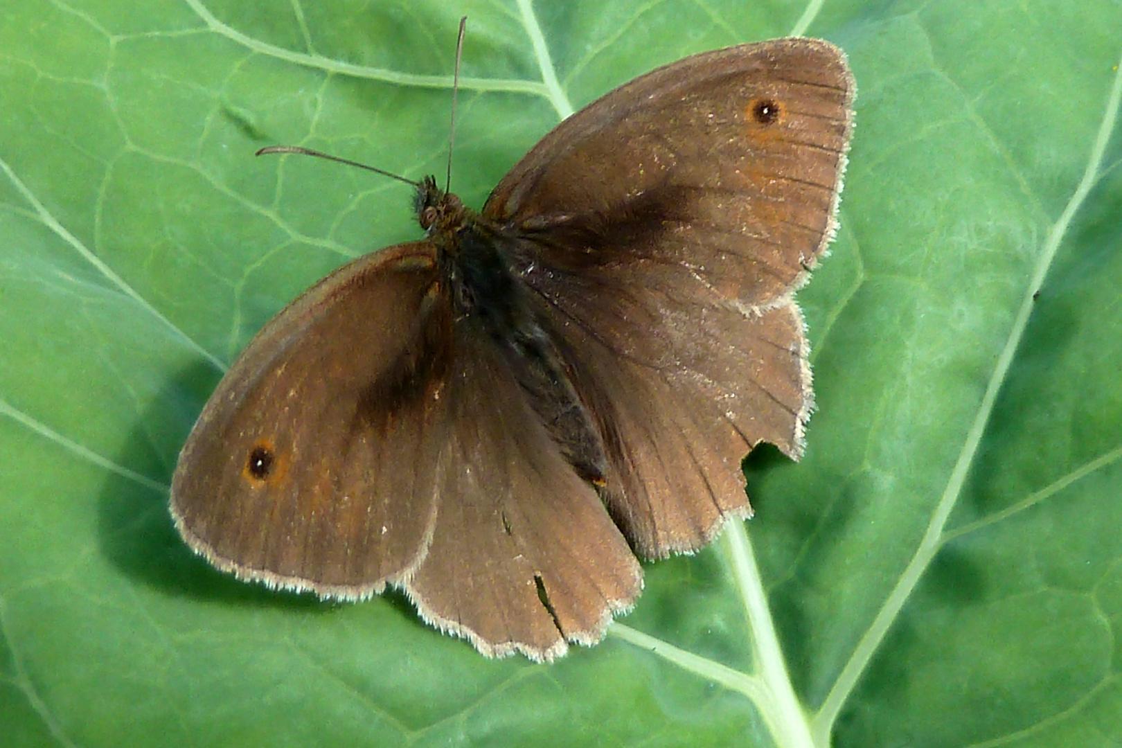 Kleiner brauner Schmetterling