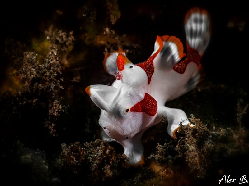 kleiner Clown Frogfish