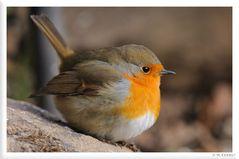 - Kleiner Federball - Rotkehlchen ( Erithacus rubecula )