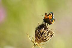 Kleiner Feuerfalter (Lycaena phlaeas)