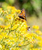 Kleiner Fuchs (Aglais urticae) in der Obstanlage.....