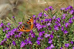 Kleiner Fuchs im Frühlingsparadies! - Le papillon au paradis..!