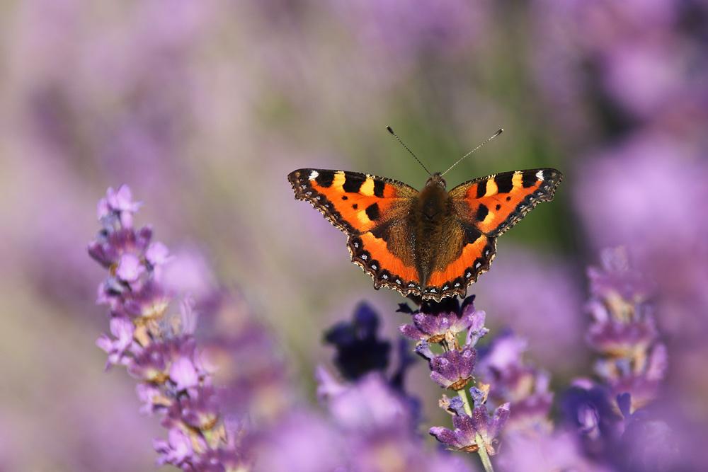 Kleiner Fuchs im Lavendel-Land