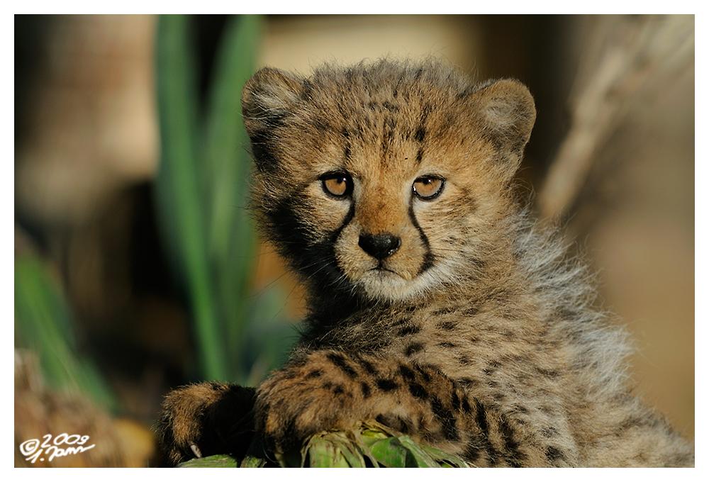 Kleiner Gepard