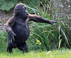 Kleiner Gorilla, ganz groß