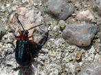 Kleiner grüner Käfer
