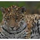 Kleiner Jaguar