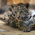 Kleiner Jaguar II