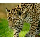 kleiner Jaguar - Zoo Krefeld