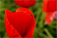 Kleiner Käfer auf großer Blüte