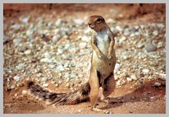 Kleiner Kalaharibewohner