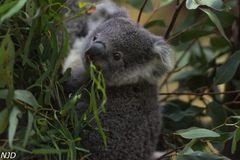 kleiner Koala im Eukalyptus