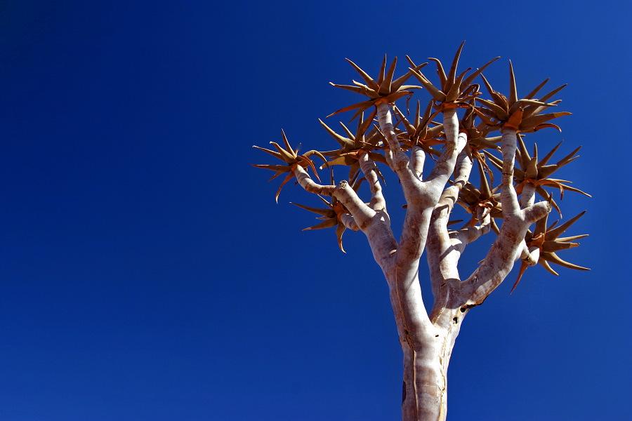 kleiner Köcherbaum
