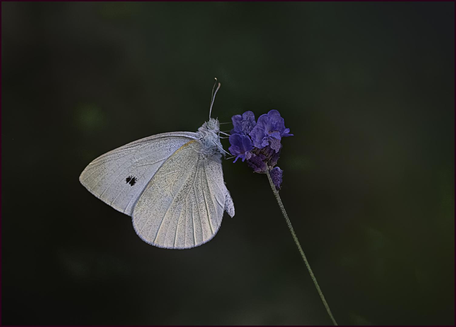 Kleiner Kohlweißling an Lavendelblüte