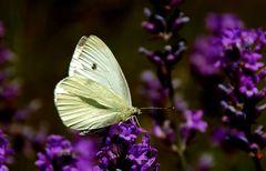 Kleiner Kohlweißling trifft Lavendel. ...