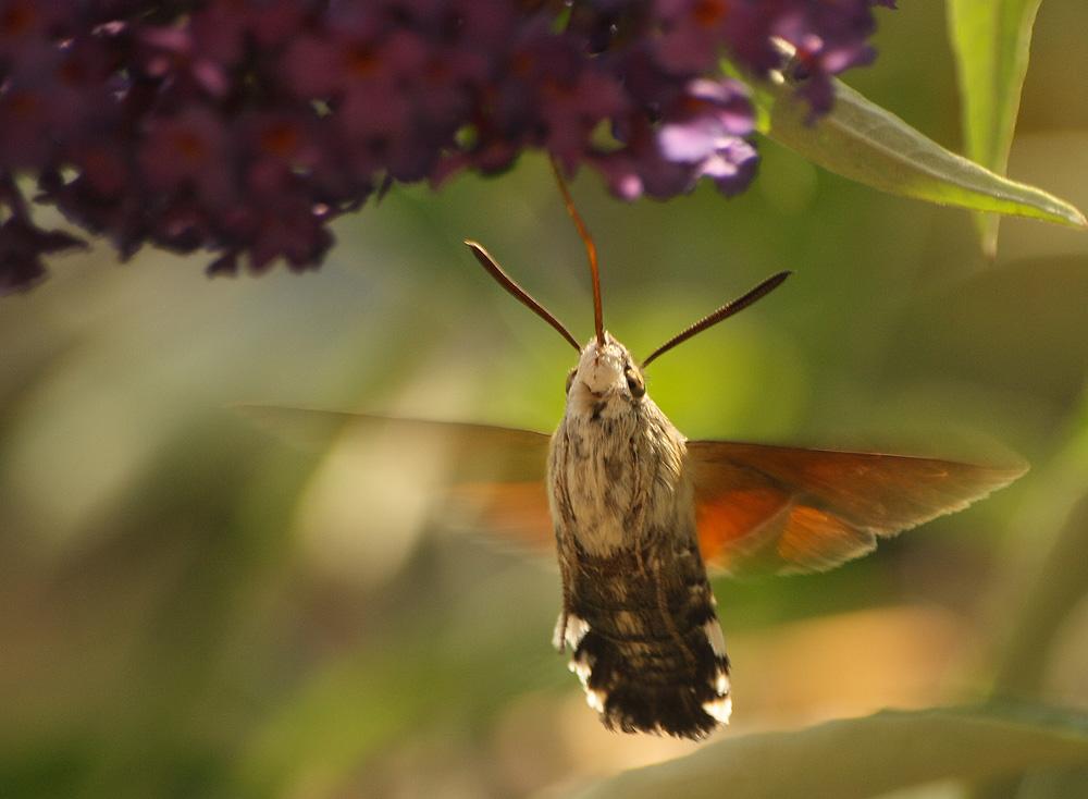 kleiner kolibri foto bild tiere wildlife insekten bilder auf fotocommunity. Black Bedroom Furniture Sets. Home Design Ideas