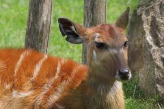 Kleiner Kudu (Ammelaphus imberbis), Parc Zoologique & Botanique Muhlhouse