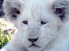 Kleiner Löwe ganz Gross