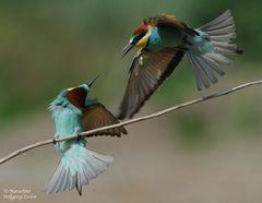 --- Kleiner Lufkampf ---- ( Merops apiaster )