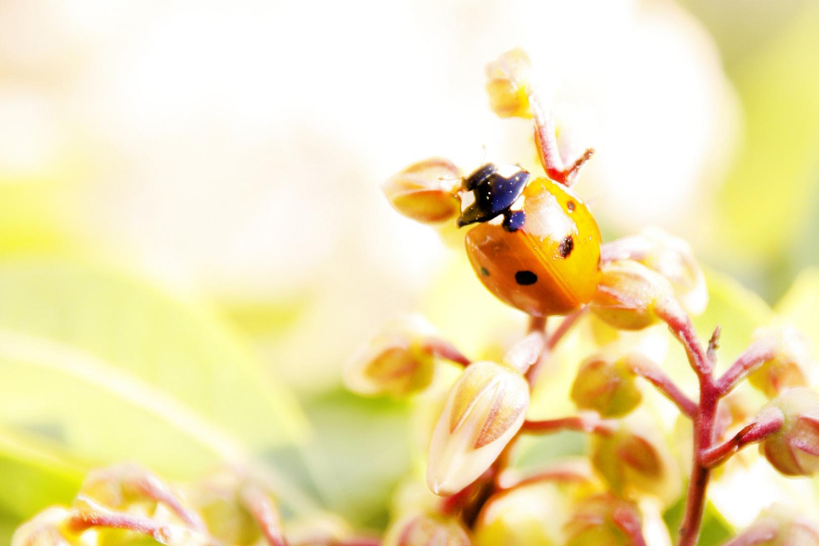 Kleiner Marienkäfer flieg