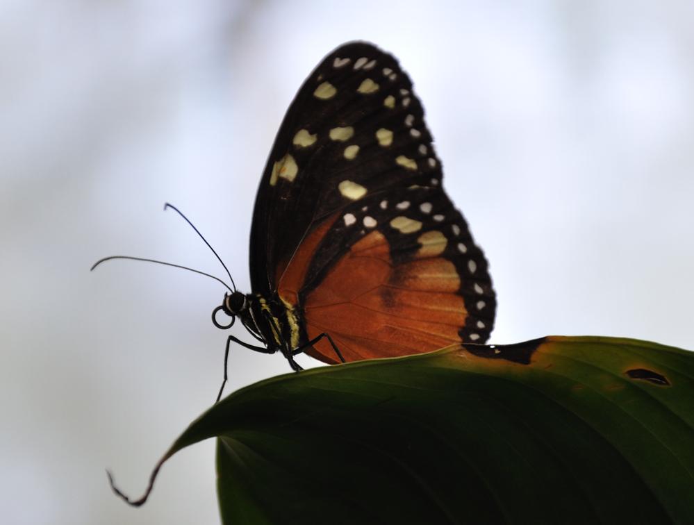 Kleiner Monarch