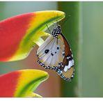 Kleiner Monarch...