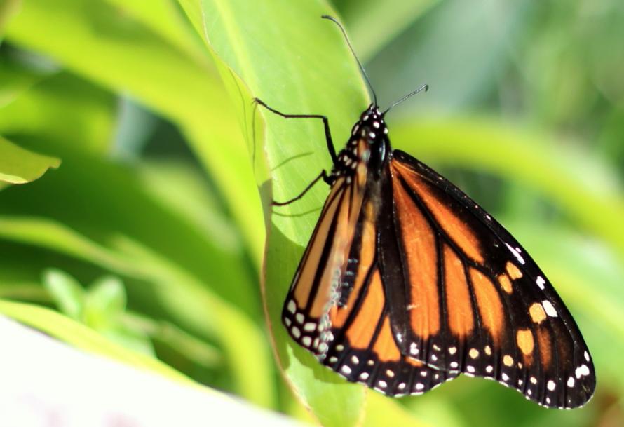 Kleiner Monarchfalter....