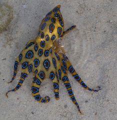 Kleiner Octopus