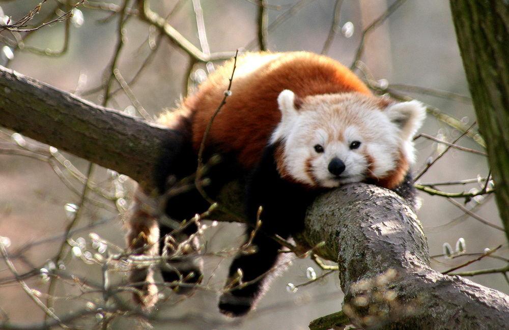 Kleiner Panda 2