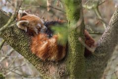 Kleiner Panda - Ailurus fulgens