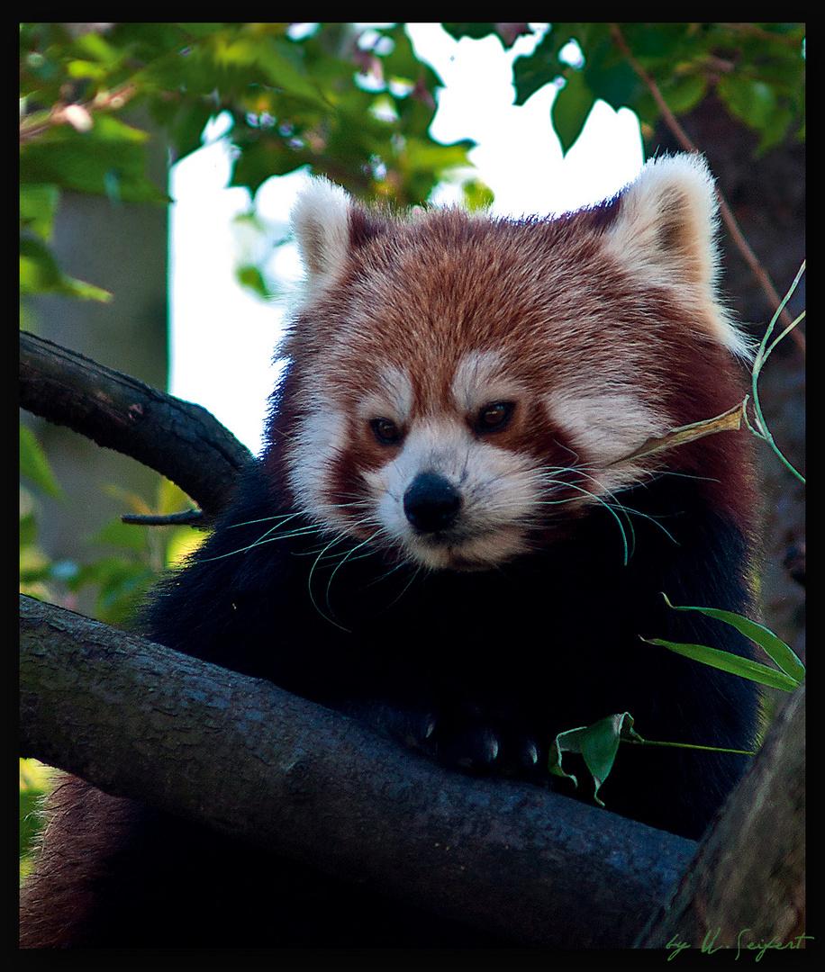 kleiner Panda - auch roter Panda genannt