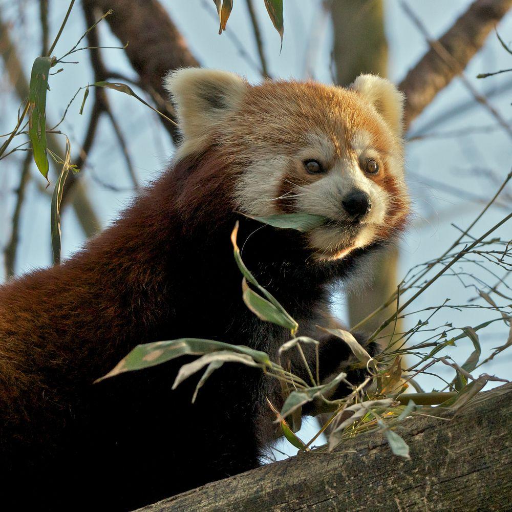 Kleiner Panda bei der Bambus-Brotzeit