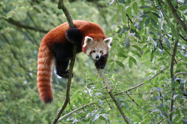 Kleiner Panda bei einer Erkundungstour
