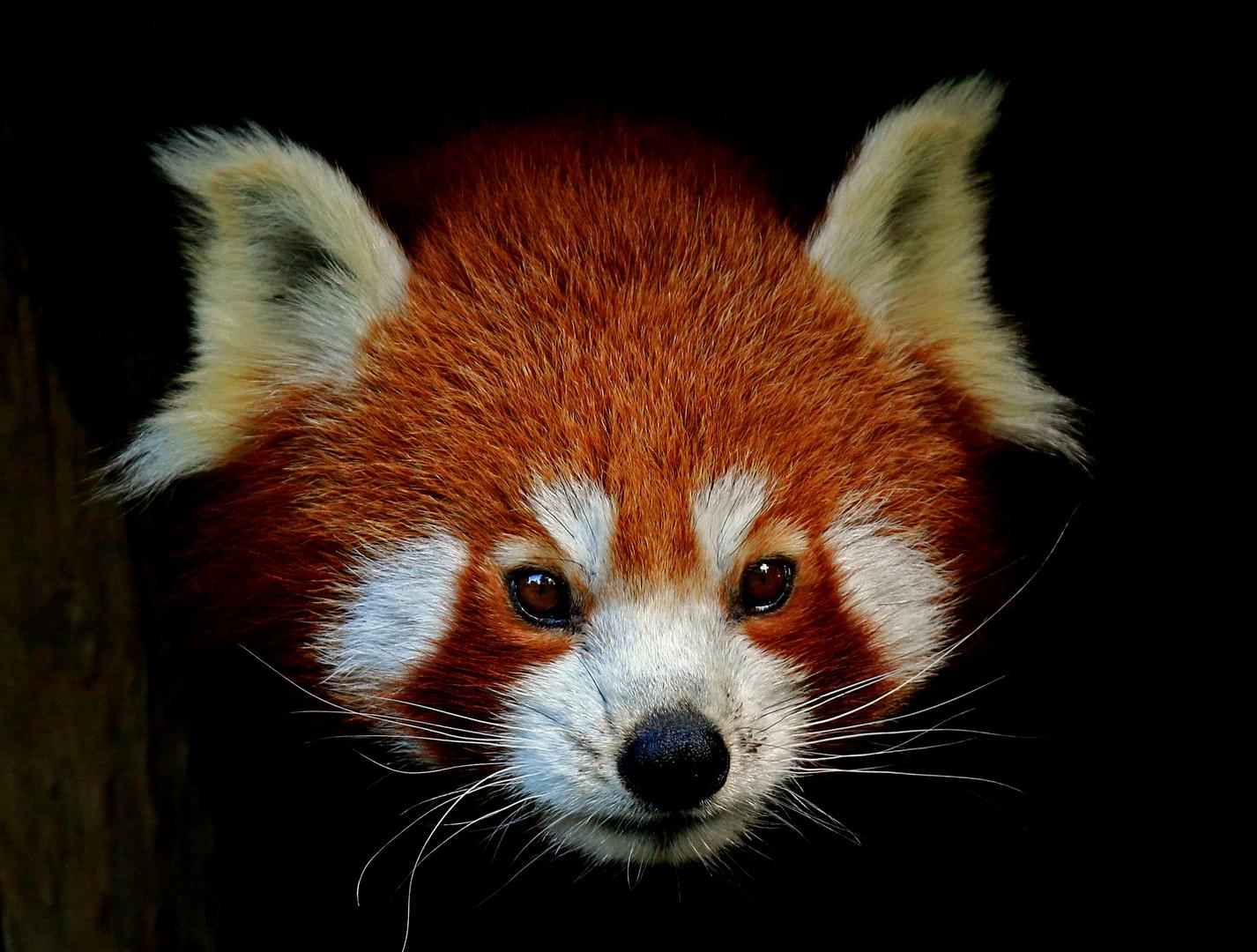 kleiner panda foto bild tiere zoo wildpark falknerei s ugetiere bilder auf fotocommunity. Black Bedroom Furniture Sets. Home Design Ideas
