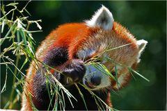 Kleiner Panda