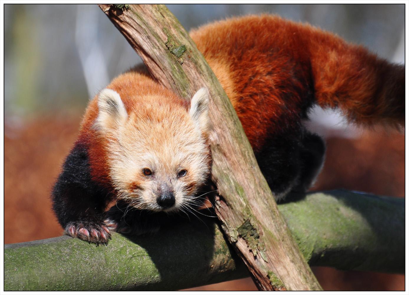 Kleiner Panda II