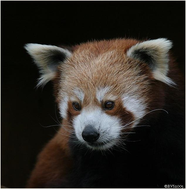 Kleiner Panda, Katzenbär.