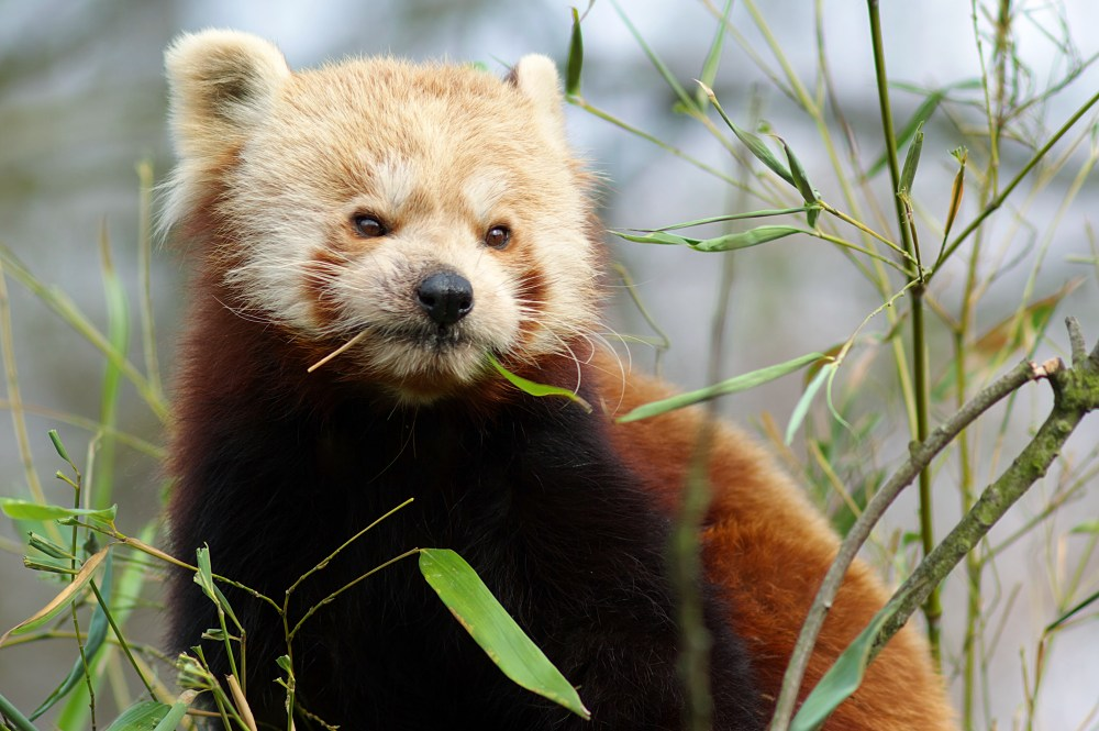 Kleiner Panda lässt sich's schmecken