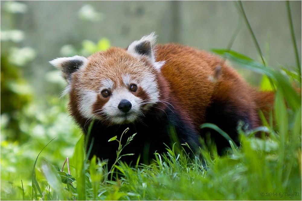 kleiner Panda on tour