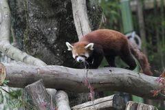 Kleiner Panda, Roter Panda oder Katzenbär, (Ailurus fulgens), Parc Zoologique 6 Botanique Mulhouse