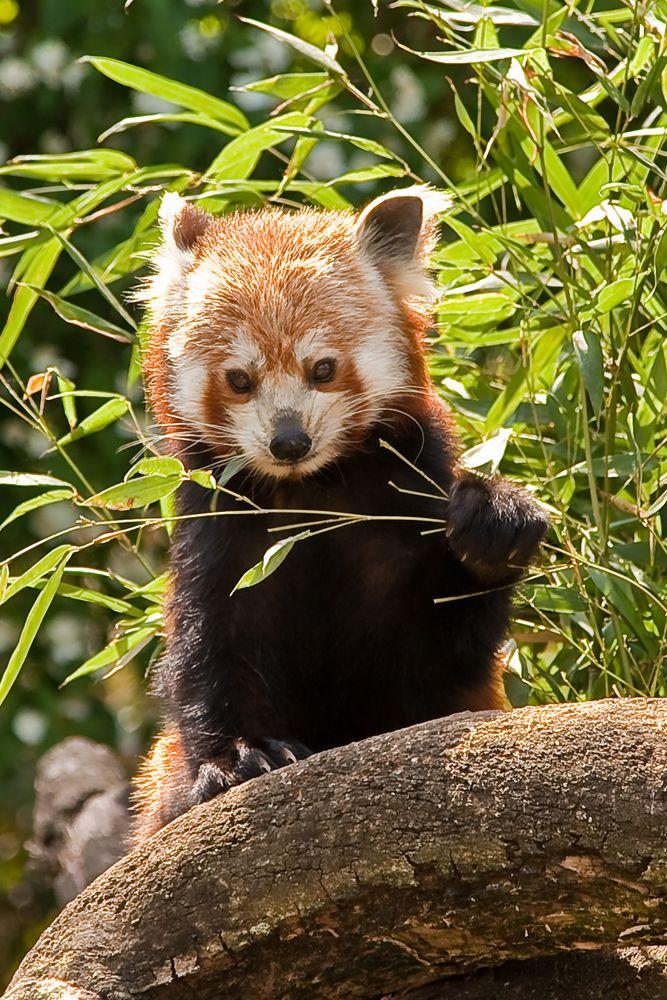 kleiner panda zoo heidelberg foto bild tiere zoo wildpark falknerei s ugetiere bilder. Black Bedroom Furniture Sets. Home Design Ideas