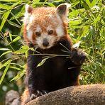 Kleiner Panda - Zoo Heidelberg